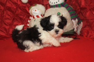 Pebbles Female CKC Shihpoo $1750 Ready 12/15 SOLD MY NEW HOME VALDOSTA, GA