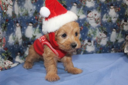 Spice Female CKC Yorkipoo $2000 Ready 12/12 SOLD MY NEW HOME CARNEL, IN