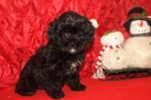 Suzie Female CKC Malshipoo $1750 BUT WAIT CHRISTMAS SPECIAL $999 Ready 11/25 SOLD MY NEW HOME POINCIANA, FL