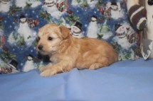 Sugar Female CKC Yorkipoo $2000 Ready 12/12 SOLD MY NEW HOME CARNEL, IN
