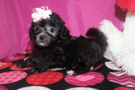 Asia Female CKC Malshipoo $1750 BUT WAIT JAN SPECIAL $1500 Ready 1/20 SOLD MY NEW HOME GREER, SC