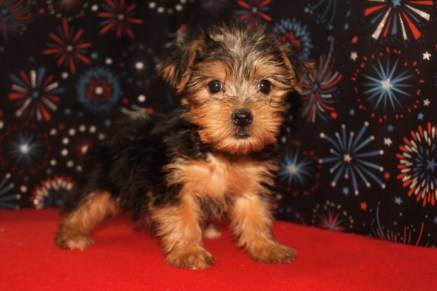 Candy Female CKC Yorkie $1750 Ready 1/5 SOLD MY NEW HOME ST JOHNS, FL