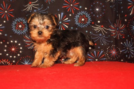 Peppermint Patty Female CKC Yorkie $1750 Ready 1/5 SOLD MY NEW HOME PATTERSON, GA