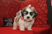 LoveBug Female CKC Shihpoo $1750 Ready 2/10 SOLD MY NEW HOME St Augustine, FL