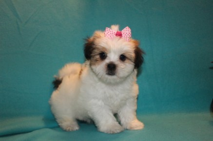 Lacey Female Imperial CKC Shih Tzu $1750 Ready 2/22 SOLD MY NEW HOME ST JACKSONVILLE, FL