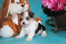 Melody Female CKC Morkie $1750 Ready 3/28 SOLD MY NEW HOME CORTEZ, CO
