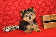 Smoochie Male CKC Havashire $1750 BUT WAIT PUPPY SPECIAL $1250 Ready 4/7 SOLD MY NEW HOME JAX, FL 12 wks 2.10 Lbs With all his vaccines