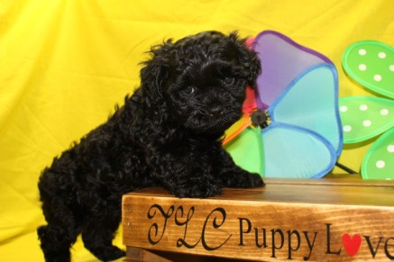 Halo Male CKC Maltipoo $1750 BUT WAIT PUPPY SPECIAL $1500 Ready 6/24 HAS DEPOSIT MY NEW HOME JACKSONVILLE, FL 5W1D 3.2lbs