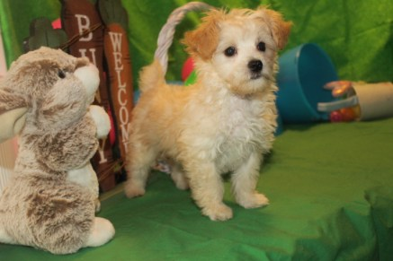 Jimminy Cricket Male CKC Yorkipoo Ready 3/2 MY NEW HOME JACKSONVILLE, FL SOLD