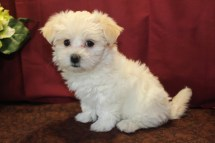 Pippy Female CKC Havamalt $1750 Ready 5/21 SOLD MY NEW HOME ST JOHNS,, FL 2.1 Lbs 7W3D