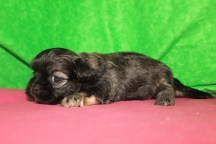 Caddy Male CKC Shihpoo $1750 Ready 5/21 AVAILABLE 3W2D 1.4LBS