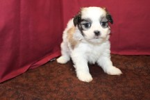 Romeo Male CKC Malshi $1750 Ready 6/3 SOLD 1.11 Lbs 5W2D