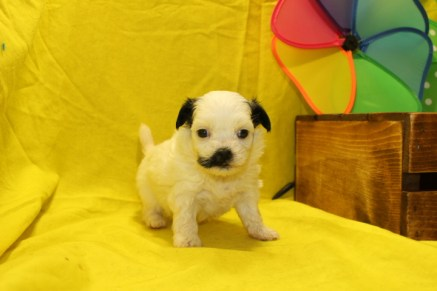 Skylar Female CKC Havashu $1750 Ready 7/6 AVAILABLE 1.3lbs 3W3D