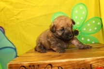 Jammer Male CKC ,Morkipoo $1750 Ready 7/14 AVAILABLE 1.5 Lbs 2W3D