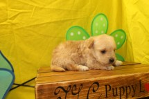 Biscuit Male CKC ,Morkipoo $1750 Ready 7/8 AVAILABLE 1.3LBS 2W3D