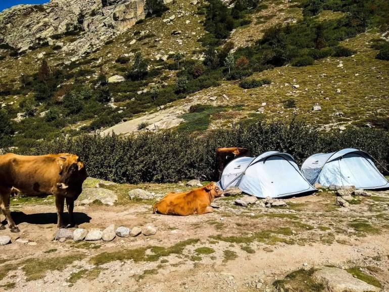 Cows near a tent at Refuge de Manganu.