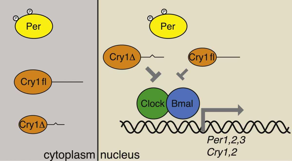 добовий цикл