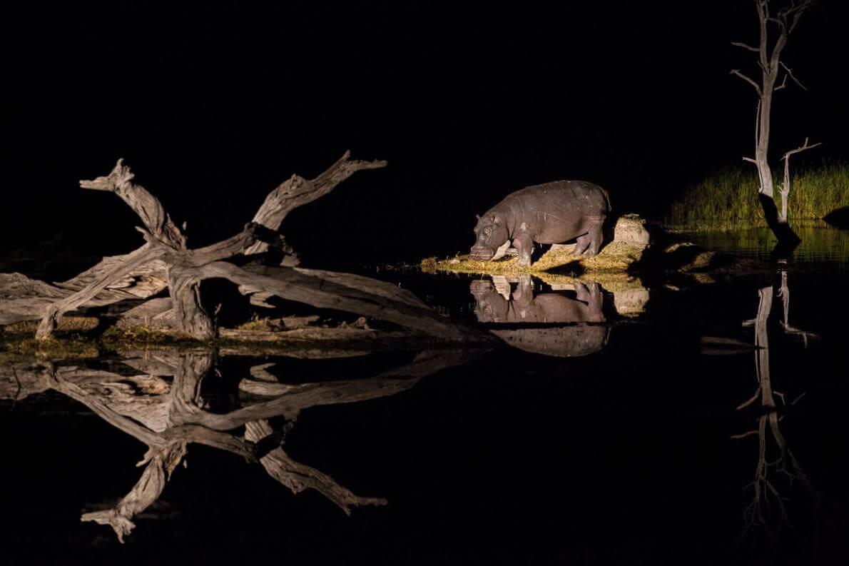 Бегемоти, пасуться вночі на суші та відпочиють день у воді.