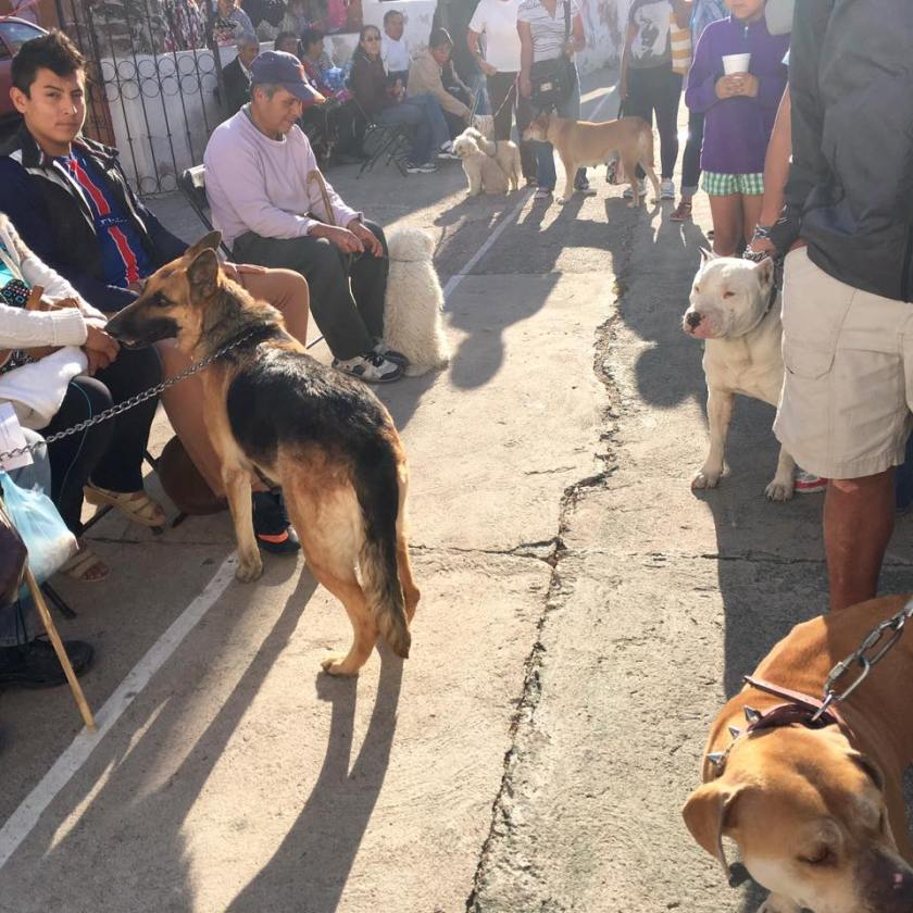 large dogs waiting for spay neuter