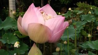 蓮荷園盛開的蓮花