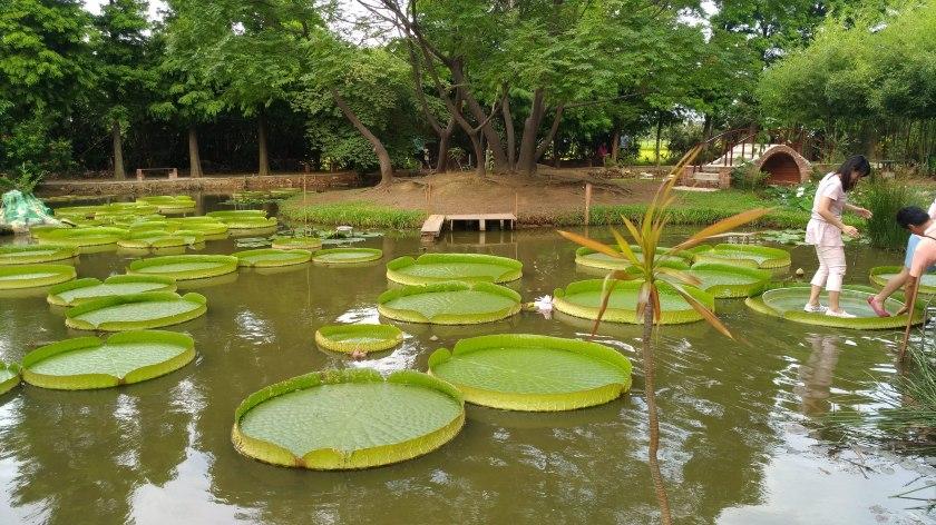 Taoyuan-Guanyin-Lotus Garden-Santa Cruz Waterlilly-3-20180616