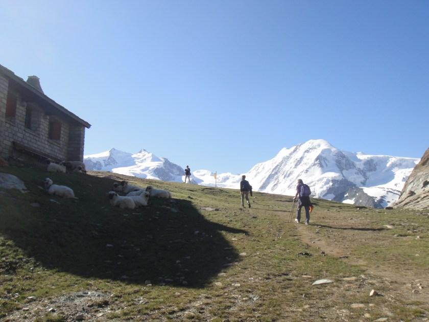 Sheep during Gornergrat Hiking