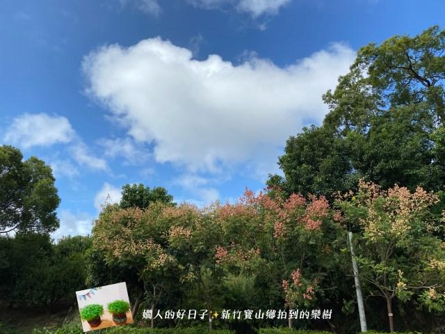 新竹寶山鄉的欒樹
