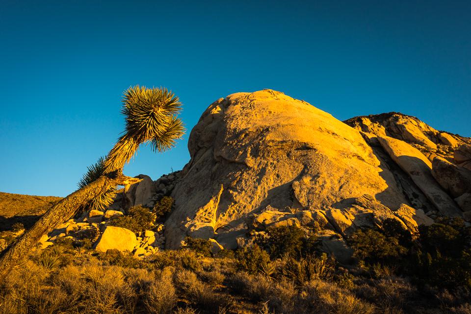Joshua Tree Leaning, by T.M. Schultze