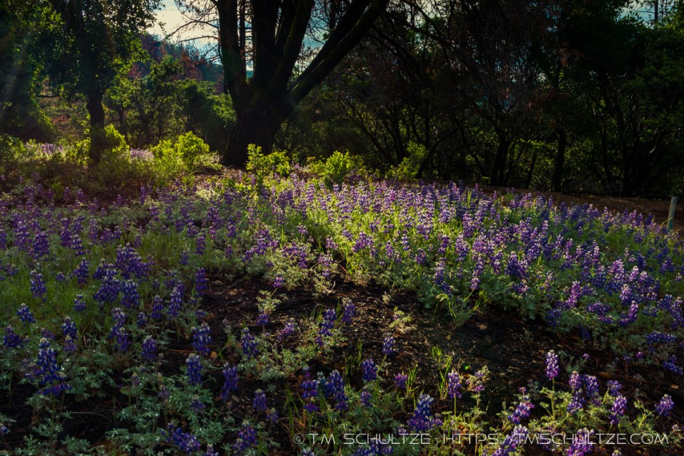 Lupine Light And Shadow by T.M. Schultze