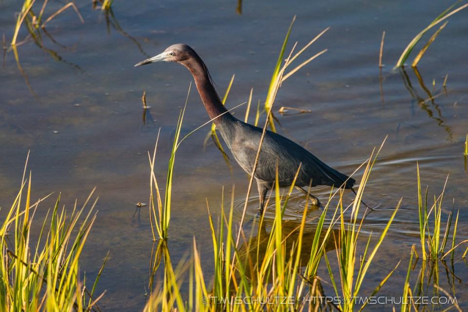 Little Blue Heron, Ocean Beach River Channel
