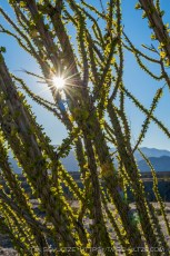 A Happy Ocotillo (Vertical)