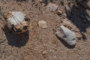 Dead Desert Tortoise