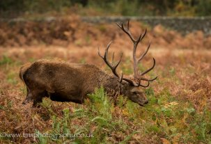 Red Deer Stag-3
