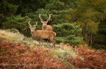 Red Deer_Bradgate Park