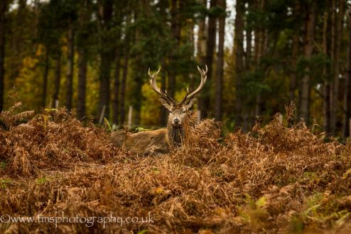 Red Stag-5