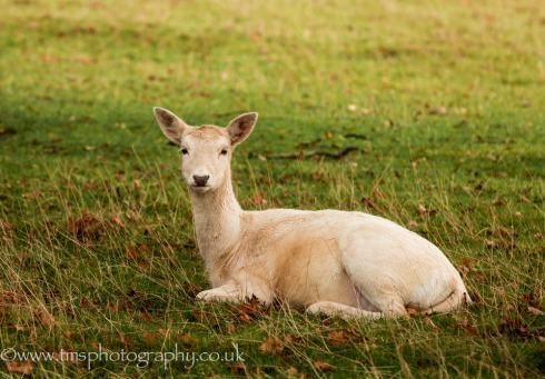 White Fallow Deer Doe
