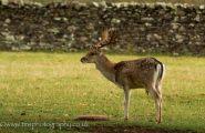 Young Fallow Buck