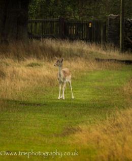 Young Fallow Deer-3