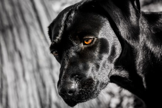Black_Labrador_CalkeAbbey_tmsphotography-38