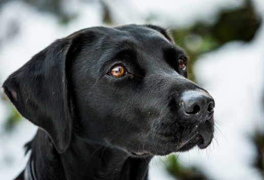 Black_Labrador_CalkeAbbey_tmsphotography-49