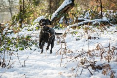 Black_Labrador_CalkeAbbey_tmsphotography-55