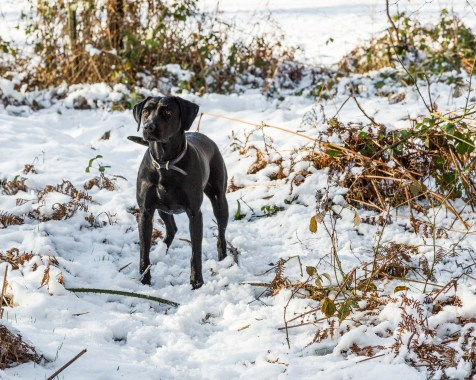 Black_Labrador_CalkeAbbey_tmsphotography-56