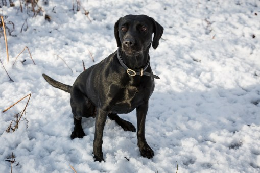 Black_Labrador_CalkeAbbey_tmsphotography-67