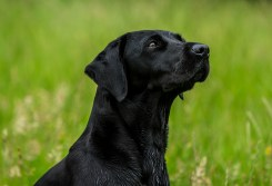 Dog_portrait_Photoshoot_Leicestershire_Labrador (1 of 1)-2
