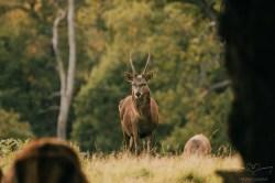 Deer_calkeparkderbyshire-16