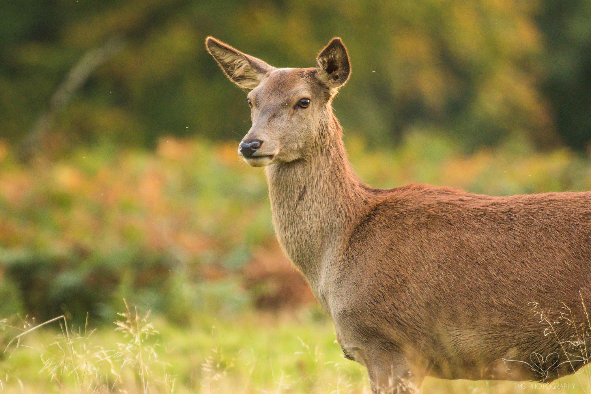 Deer_calkeparkderbyshire-40