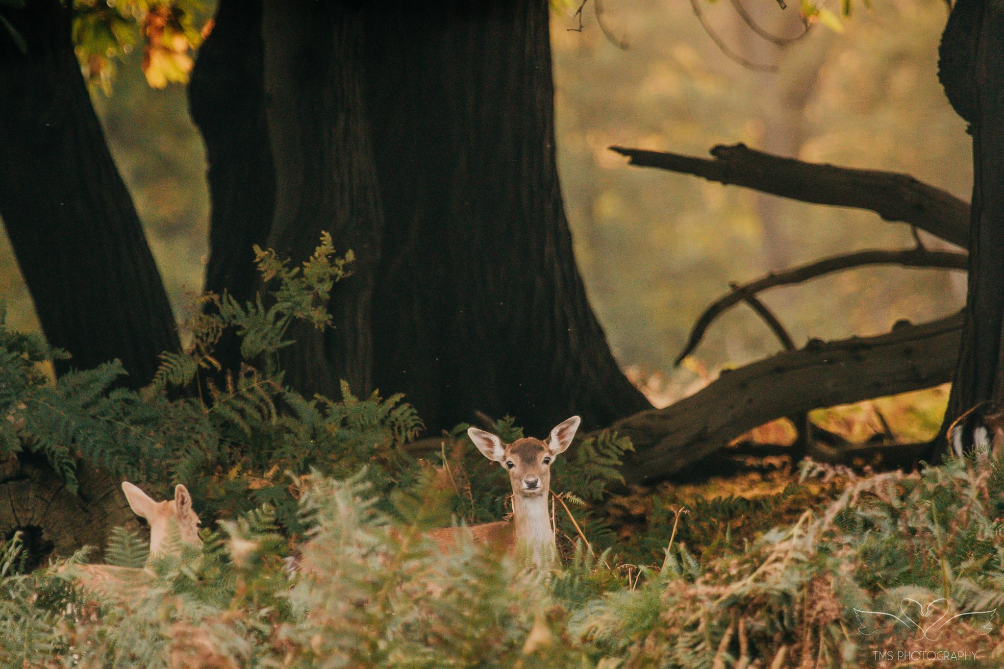 Deer_calkeparkderbyshire-45
