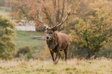 Deer_calkeparkderbyshire-49