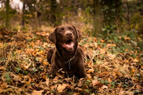 Dog_photographer_Labrador-11