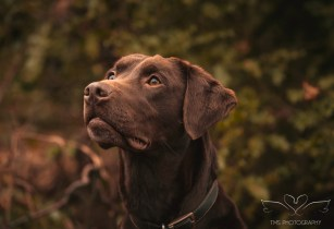 Dog_photographer_Labrador-16